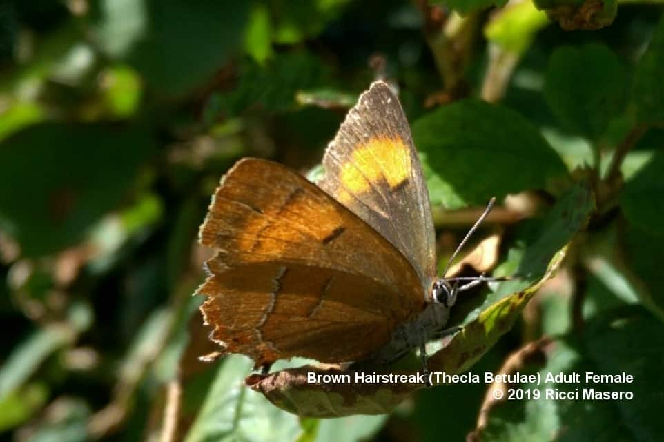 Brown Hairstreak Adult Female at Three Cornered Copse