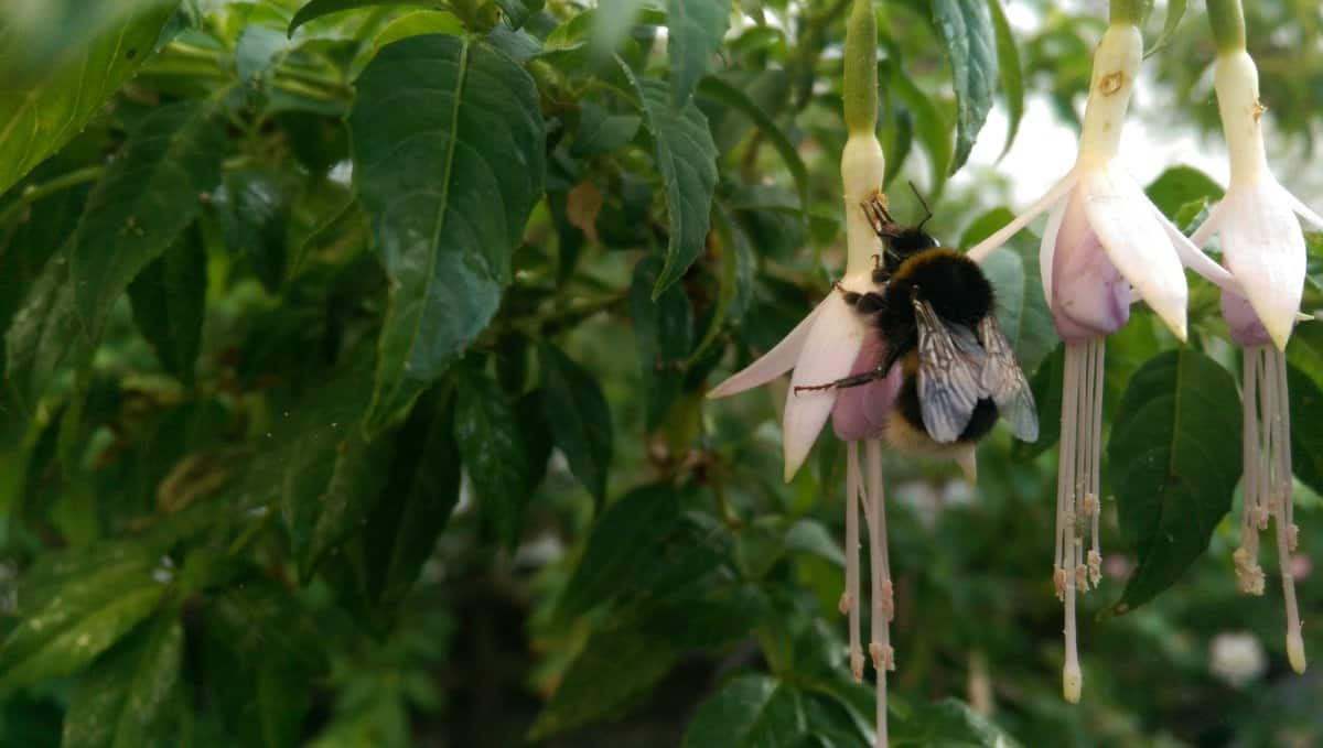 White-tailed Bumble Bee in Sussex Garden