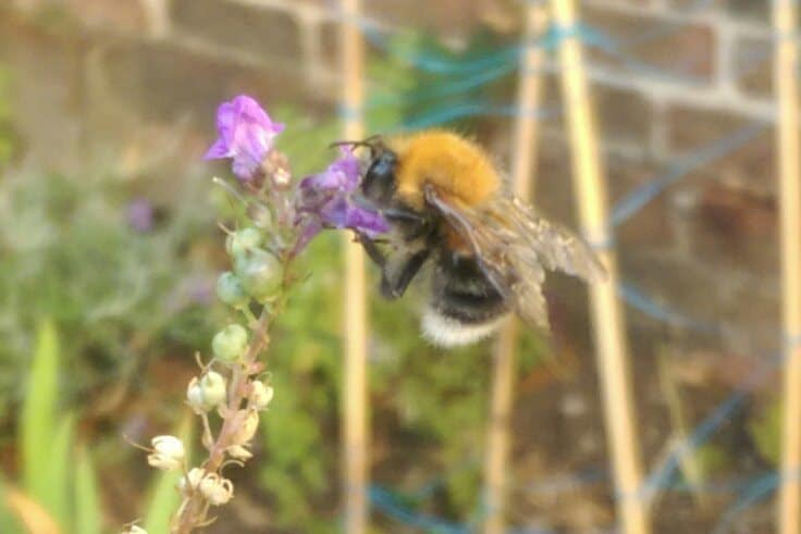 Tree Bumble Bee in Sussex Garden