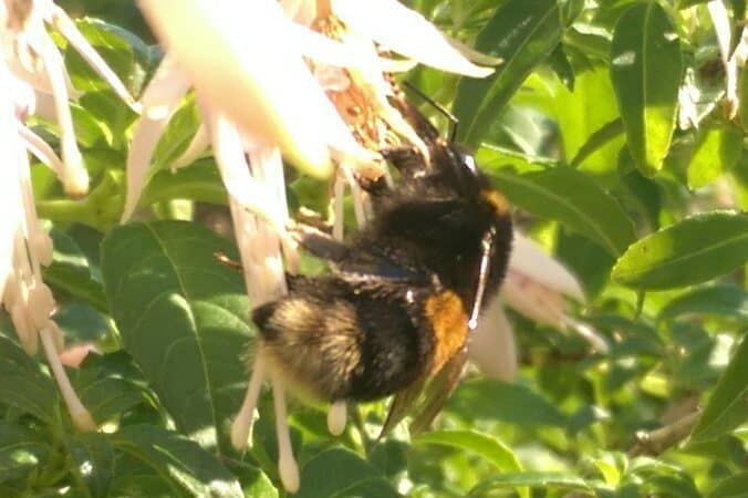 Buff-tailed Bumble Bee on Fuchsia
