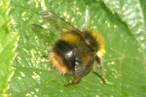 Early Bumble Bee in Sussex