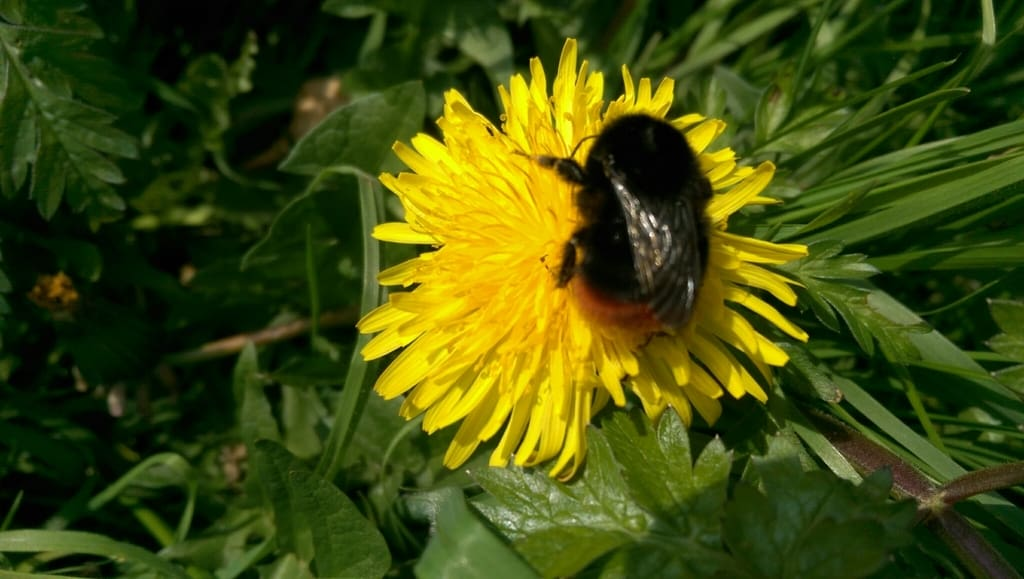 Large Red-tailed Bumble Bee on Dandelion Flower