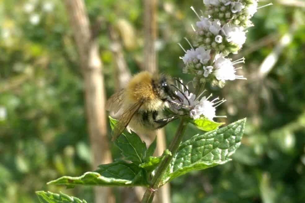 Common Carder Bee in Sussex